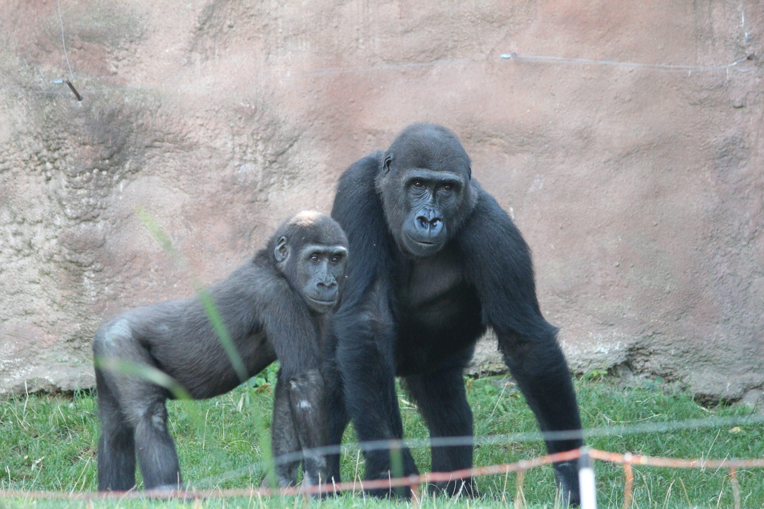 Gorilla und Schimpanse